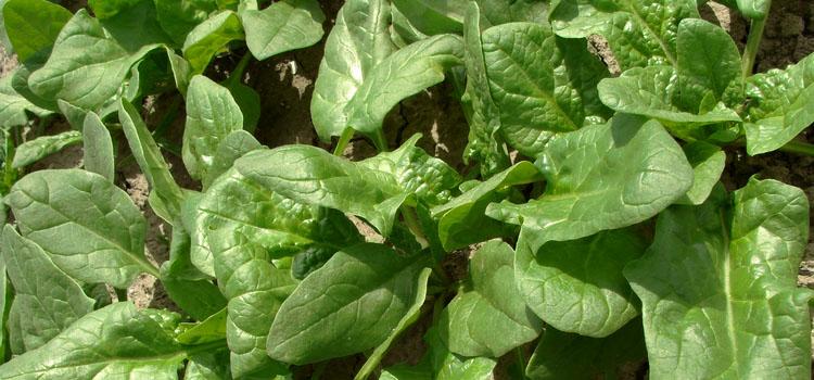 Spinach (Malabar)