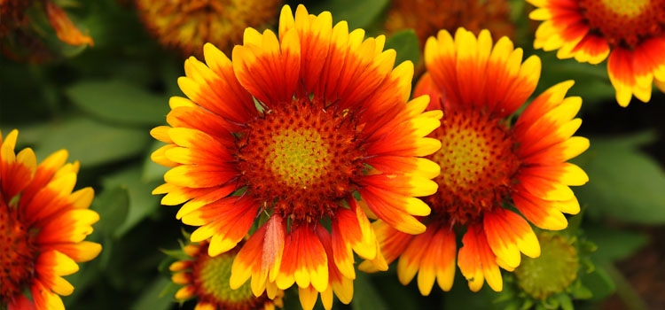 Gaillardia, also known as Blanket Flower