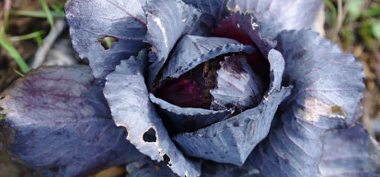 Cabbage (Long Maturity Red)