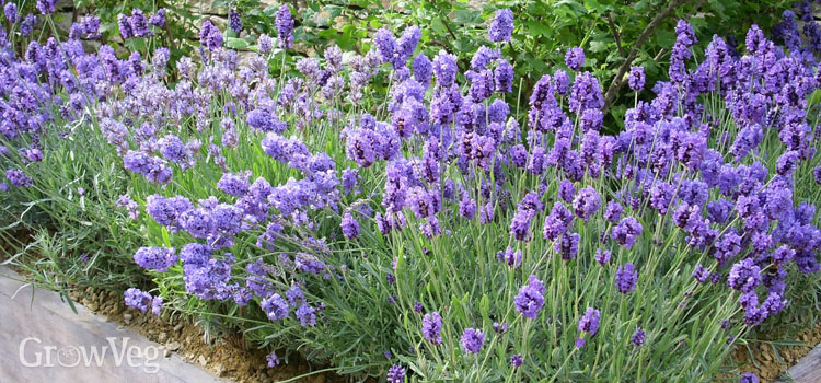 https://s3.eu-west-2.amazonaws.com/growinginteractive/plants/lavender-2x.jpg