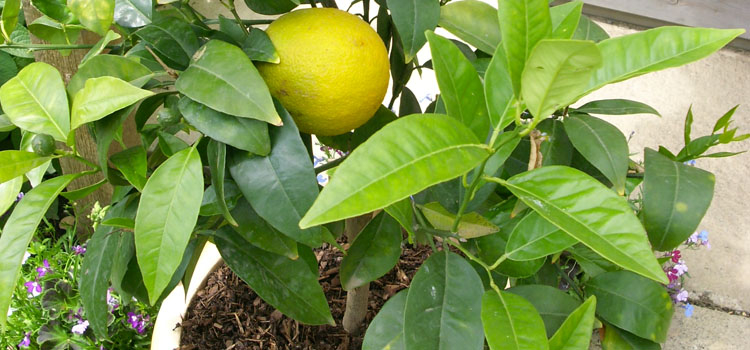 Lemon (Container Grown)