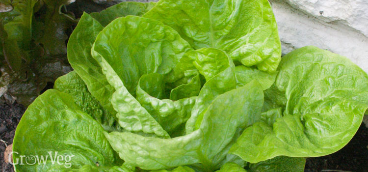 Lettuce (Crisphead), also known as Head lettuce