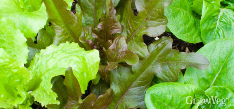 Lettuce (Loose Leaf)