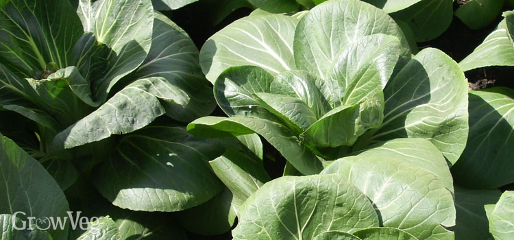 Pak choy, also known as Bok Choy