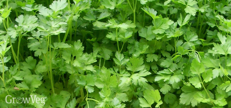 https://s3.eu-west-2.amazonaws.com/growinginteractive/plants/parsley-2x.jpg