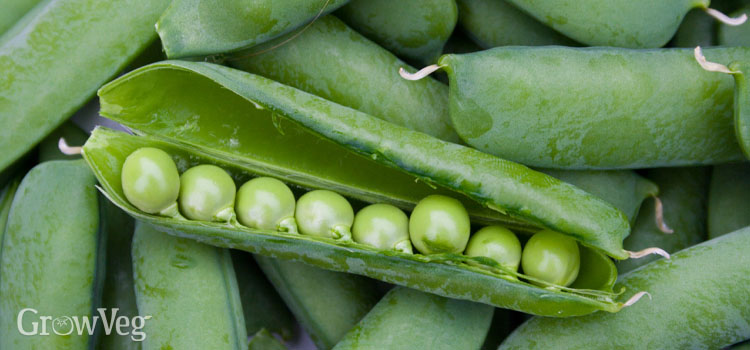 Peas, also known as Mangetout, snow pea, sugar snap