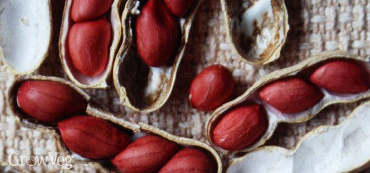 Peanut, also known as Groundnut