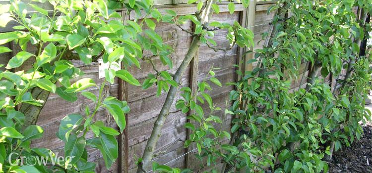 Pear (Cordon)