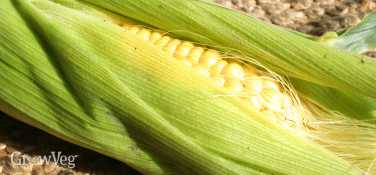Sweetcorn, also known as Corn