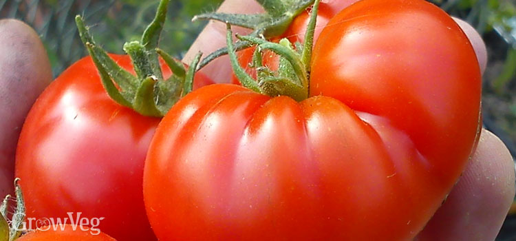https://s3.eu-west-2.amazonaws.com/growinginteractive/plants/tomato-large-2x.jpg
