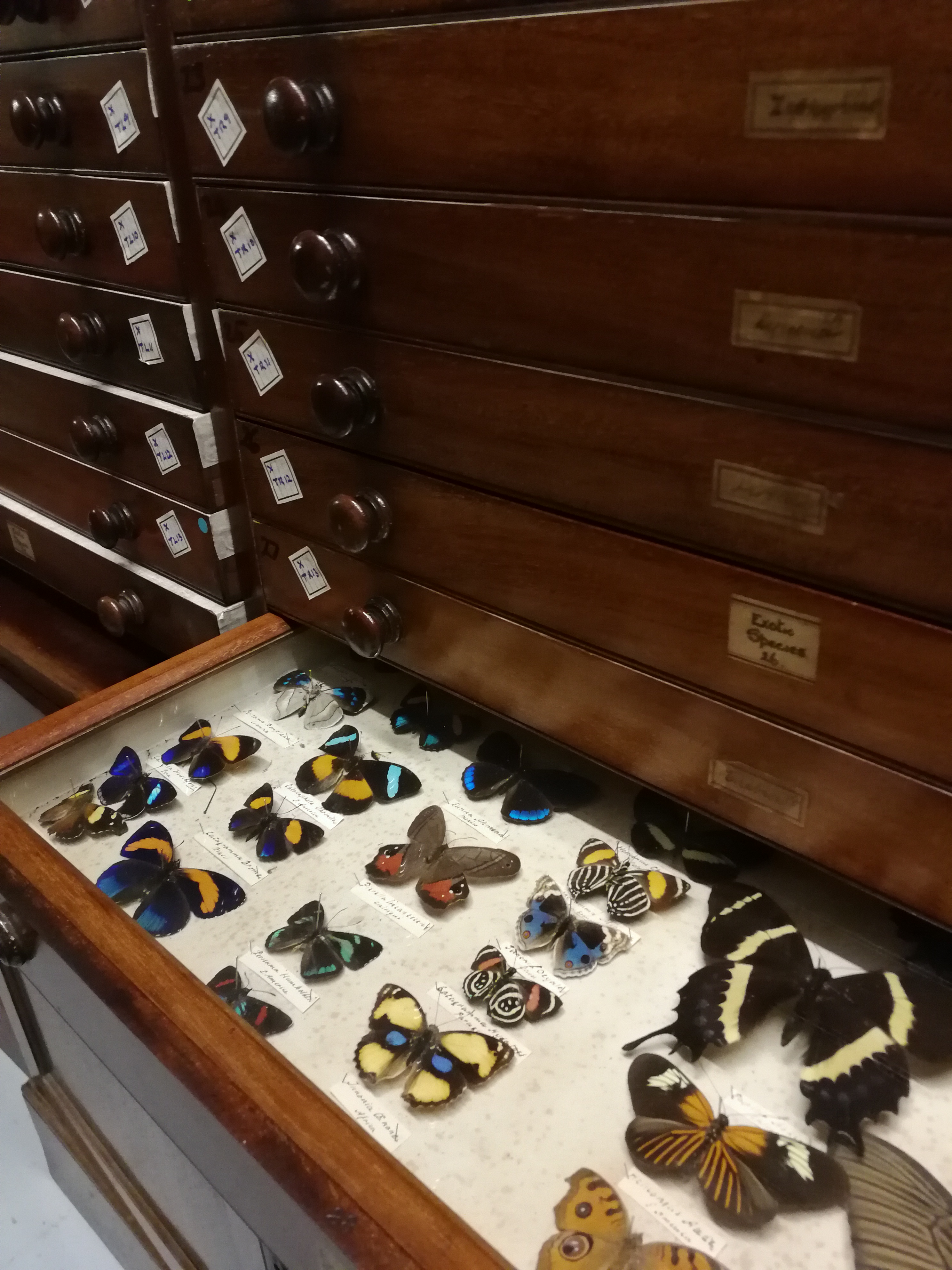Colour photograph of a set of drawers, one of which is open showing the butterflies inside