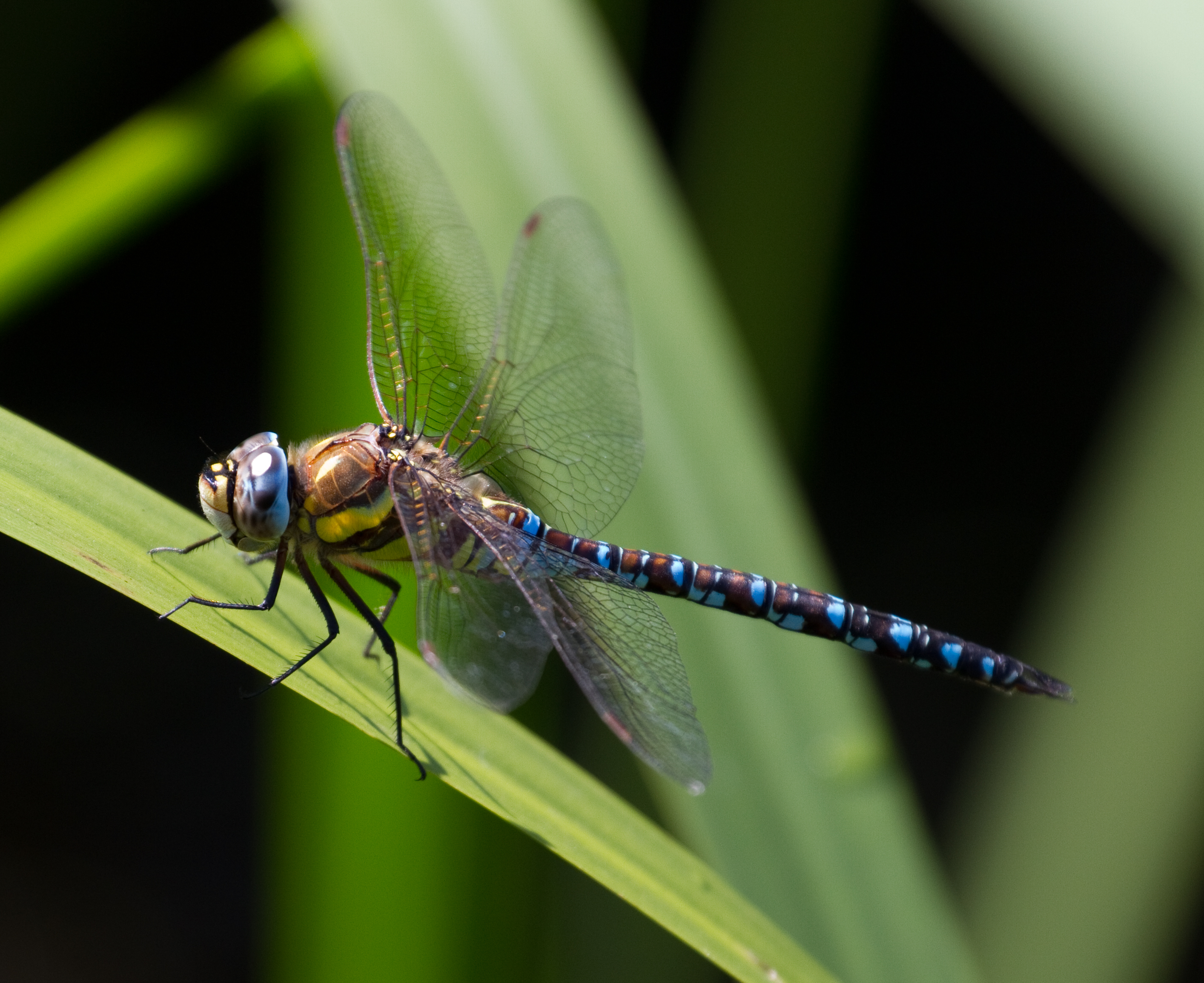Image of a dragonfly on a leaf
