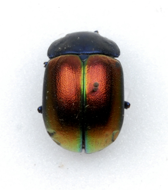 Beetle with irridescent red, green and yellow wing cases.