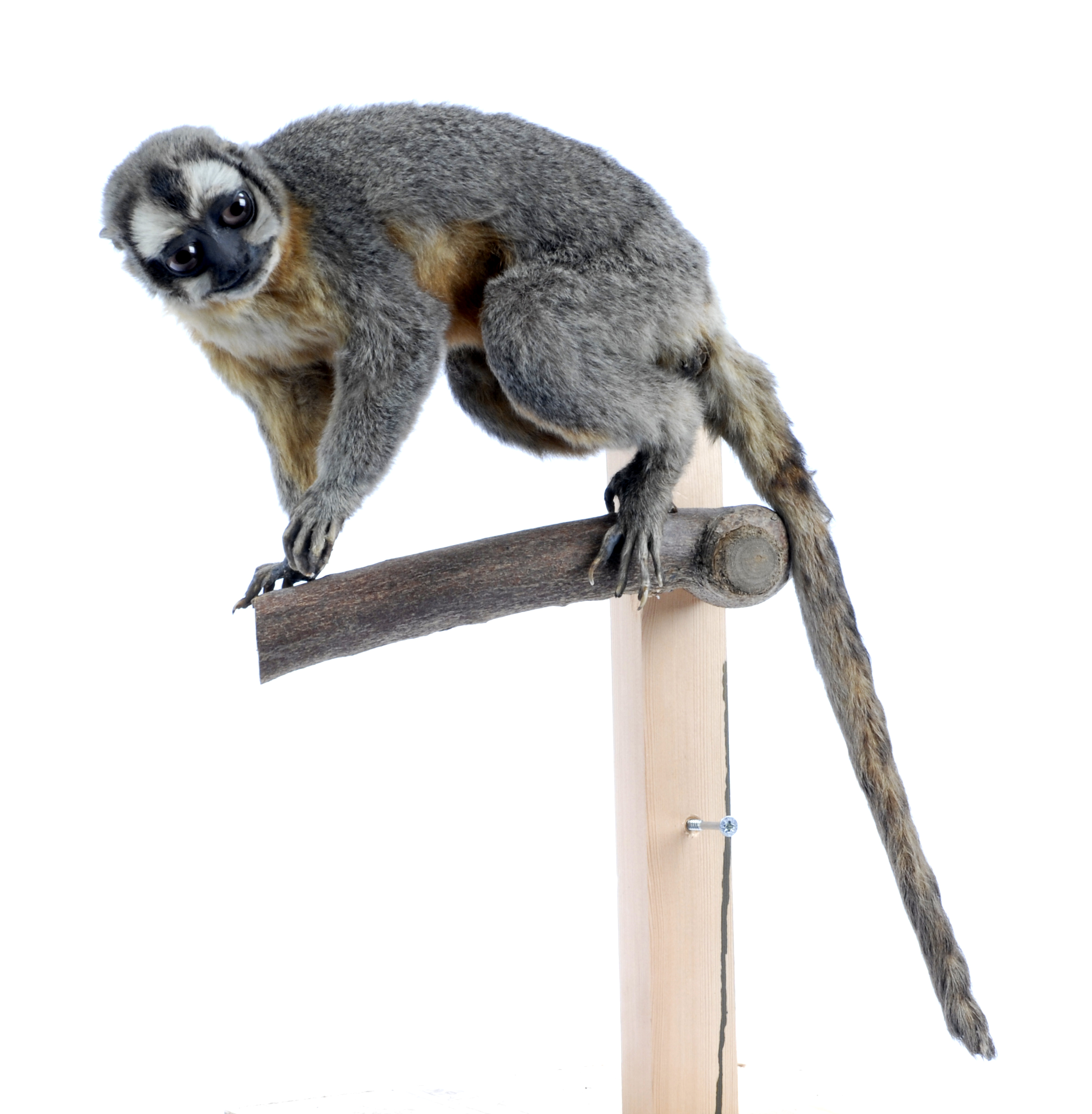 Taxidermy Three-Striped Night Monkey