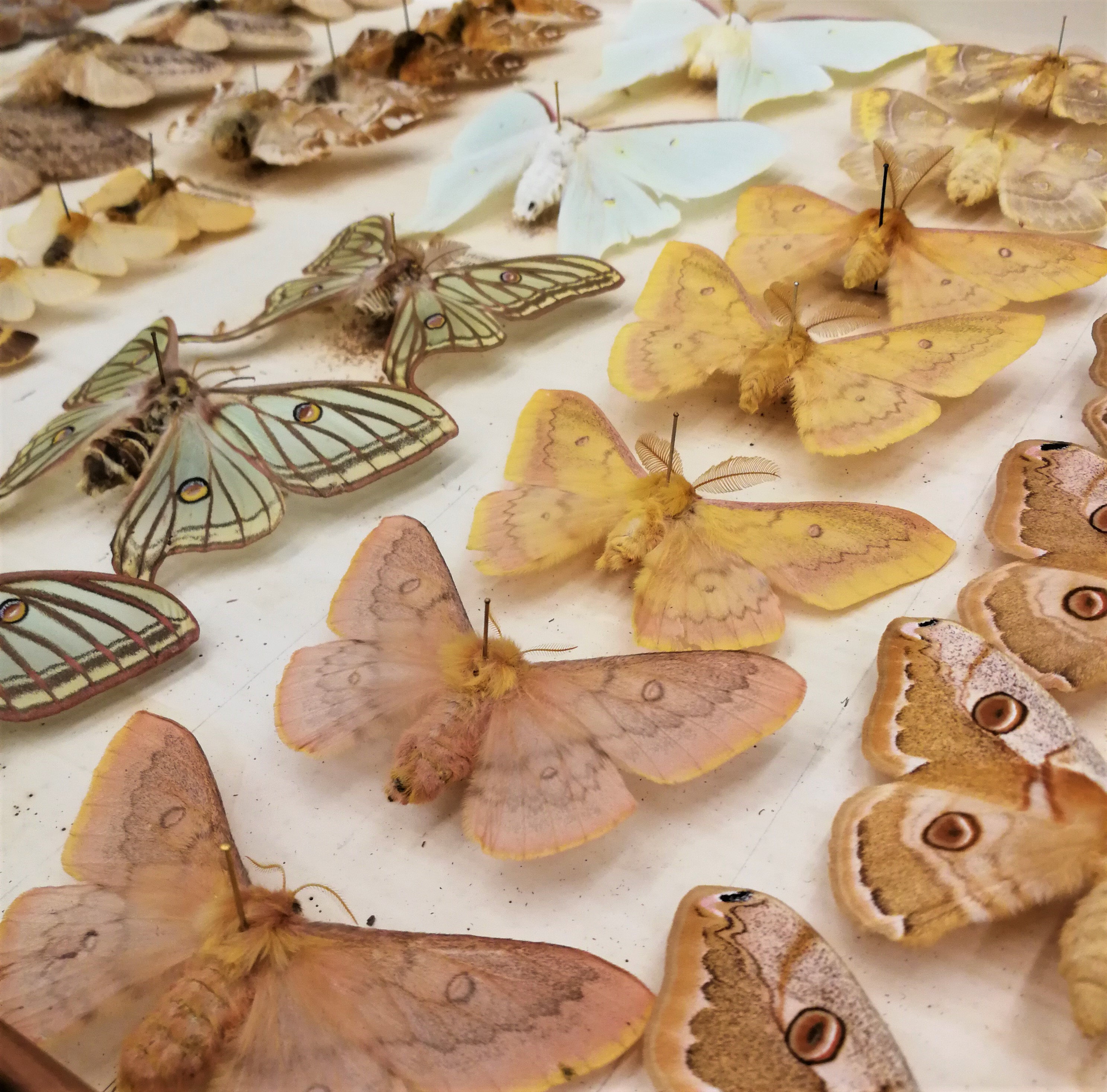 Colour photograph showing part of a drawer of pinned moths