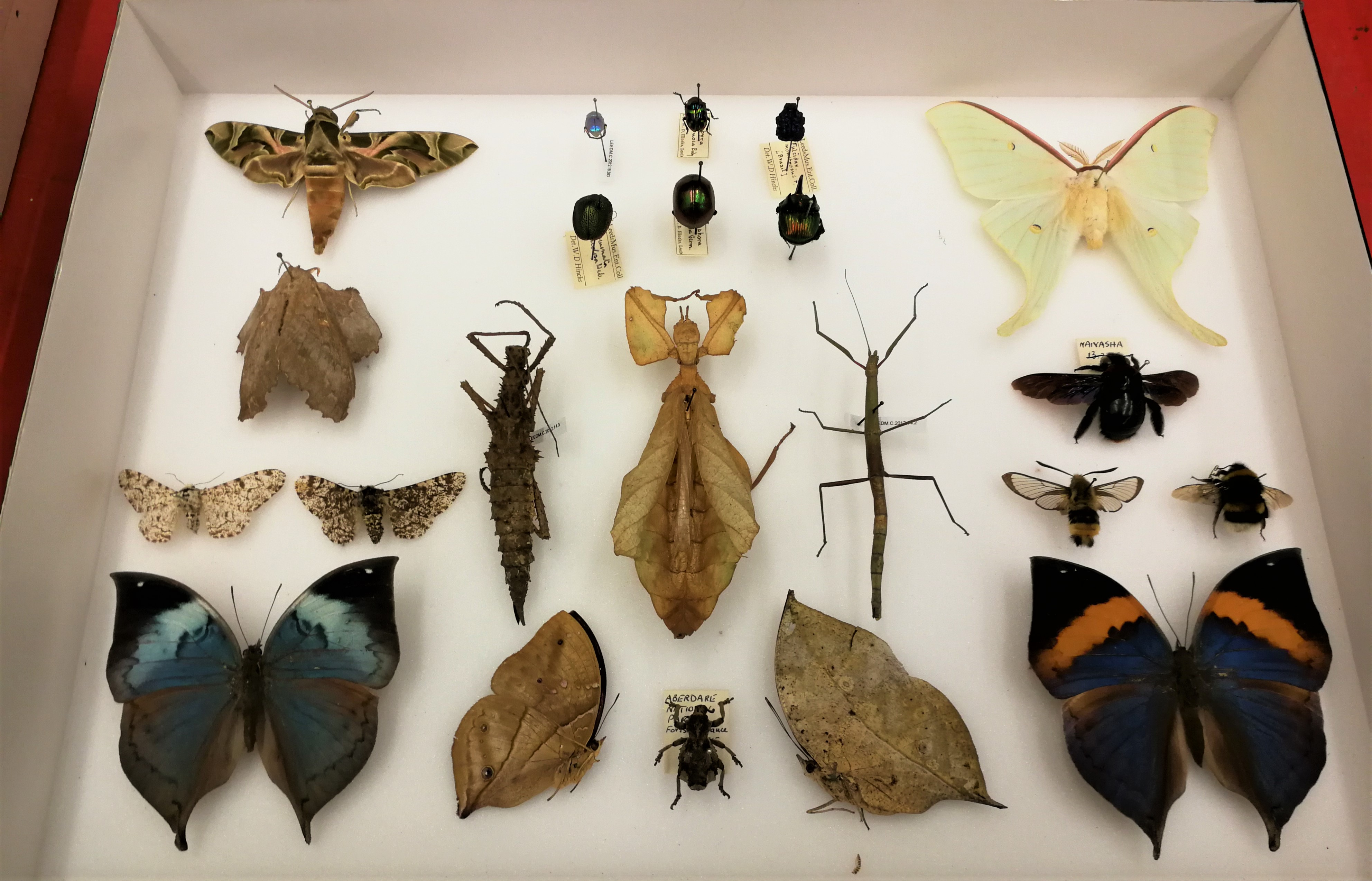 Colour photograph showing a drawer of different insects, including stick insect, bees and butterfulies