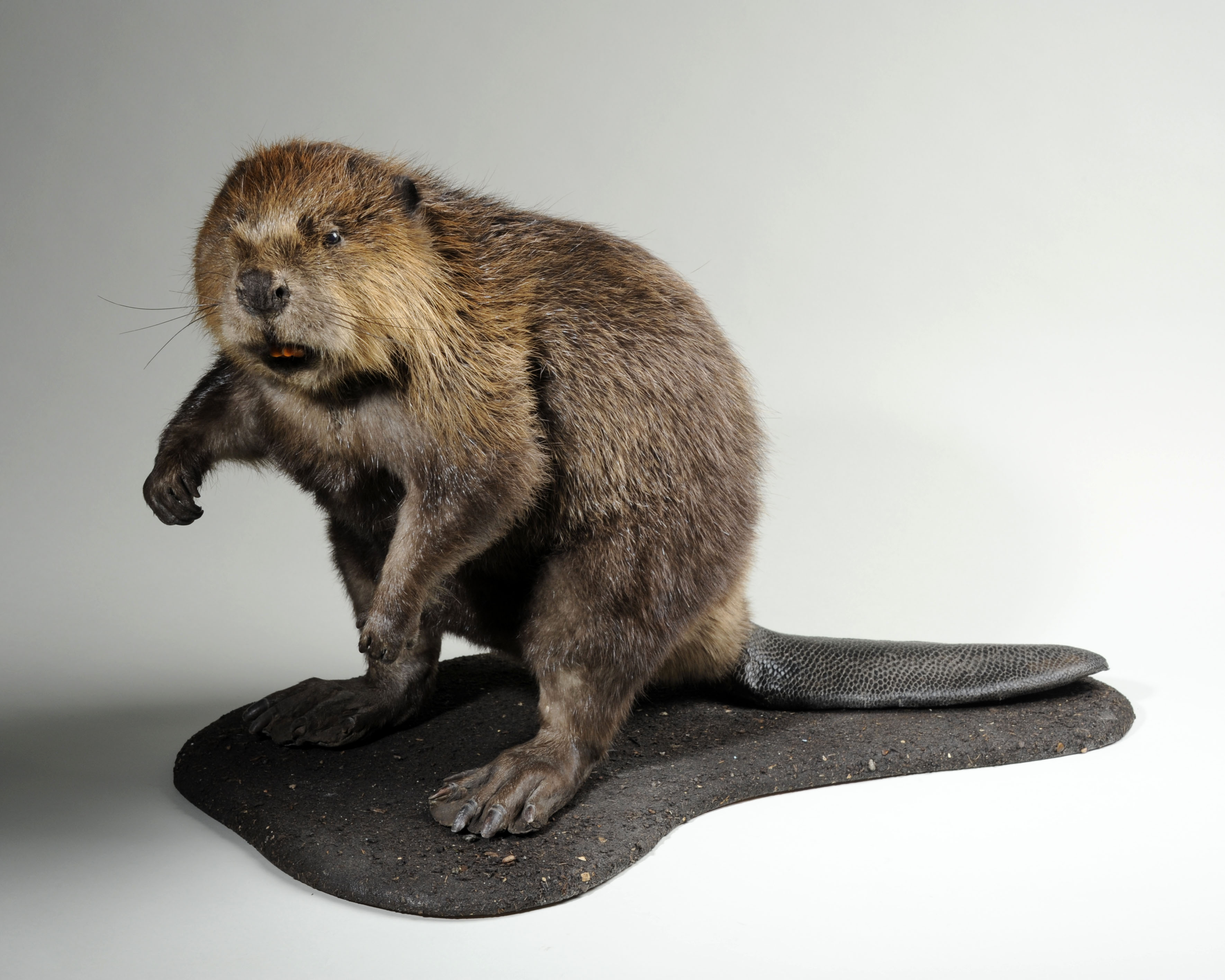 Young Female Beaver