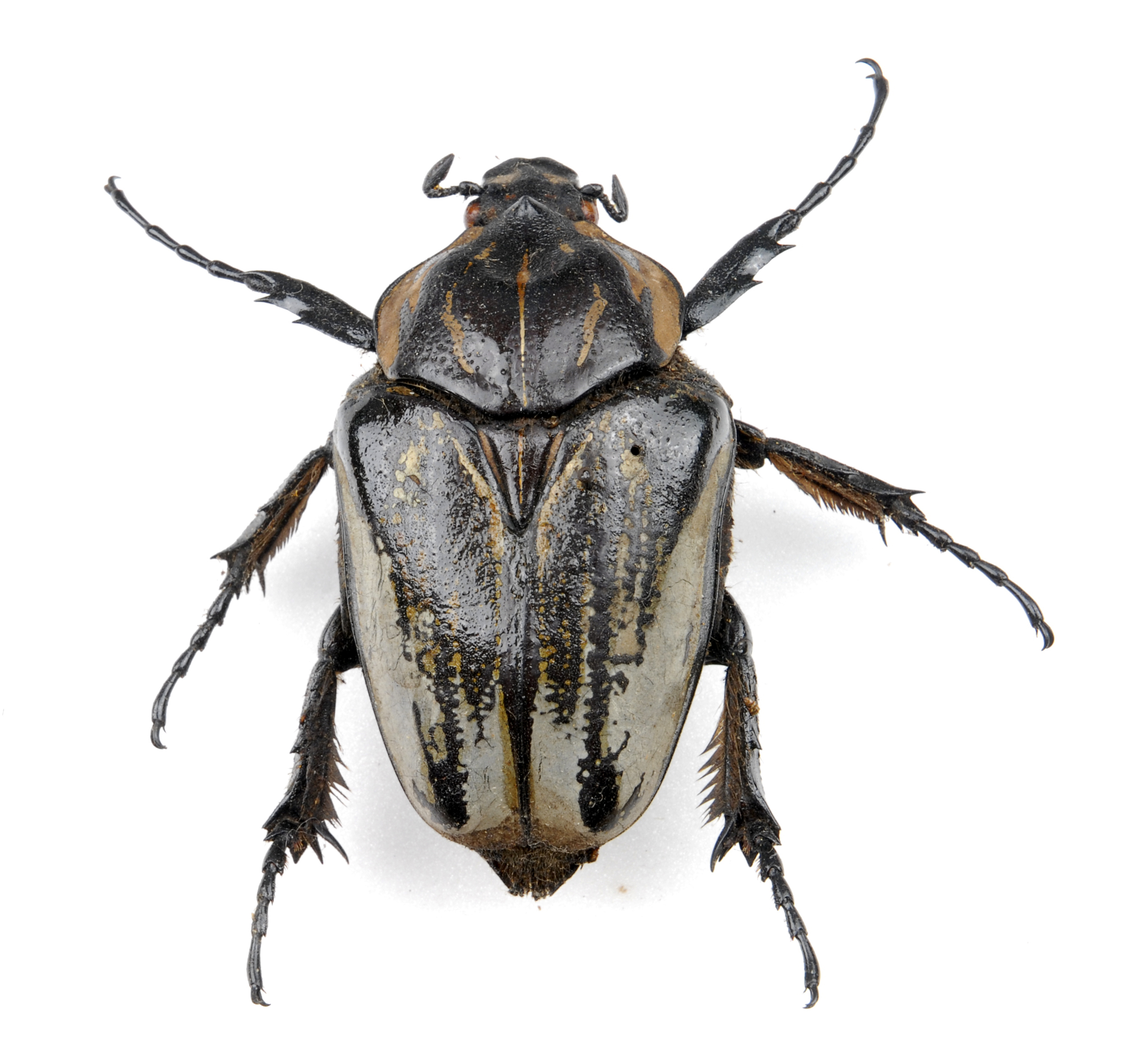 Colour photograph showing a mostly black beetle with some brown markings