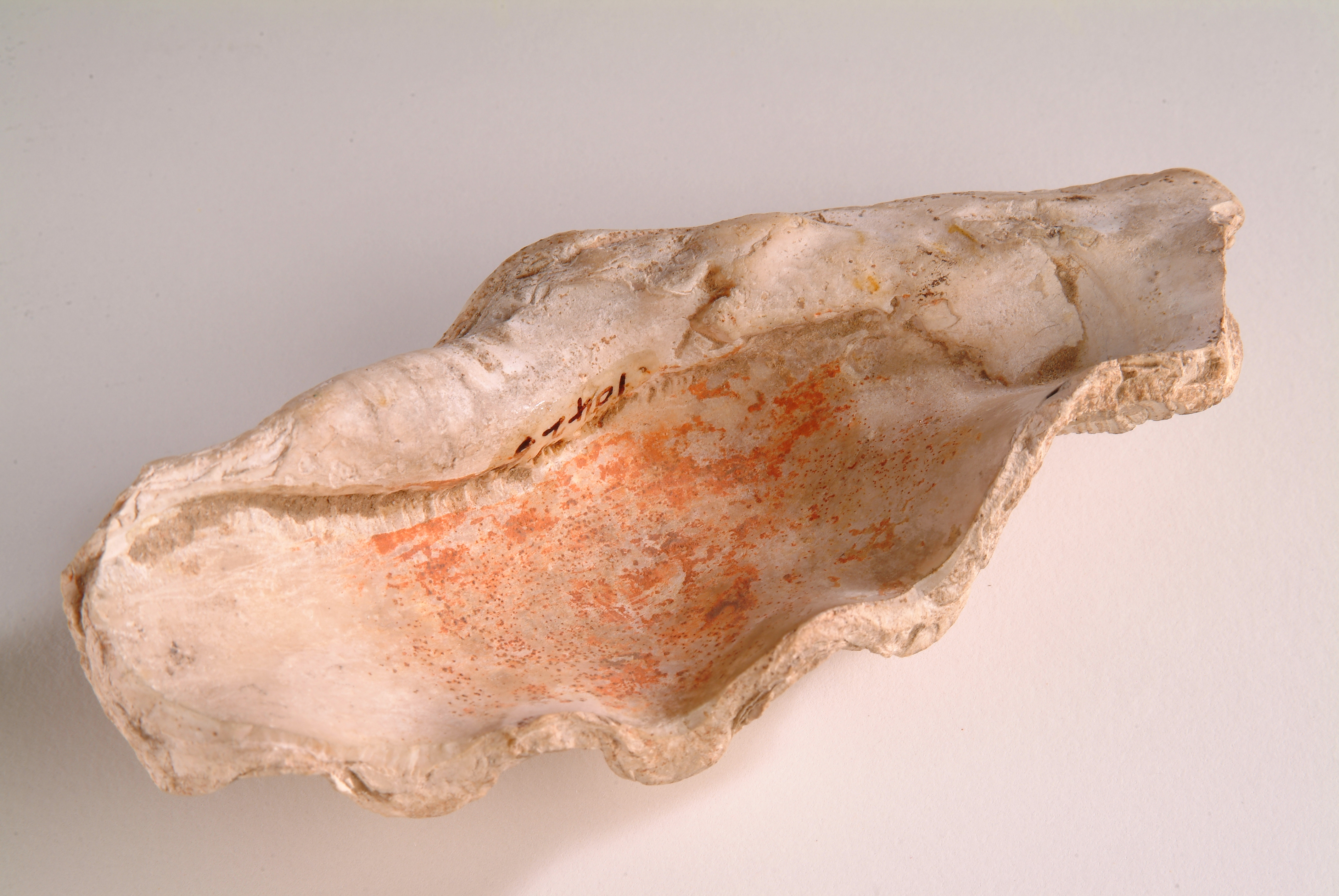 Colour photograph of a shell with rust coloured staining inside