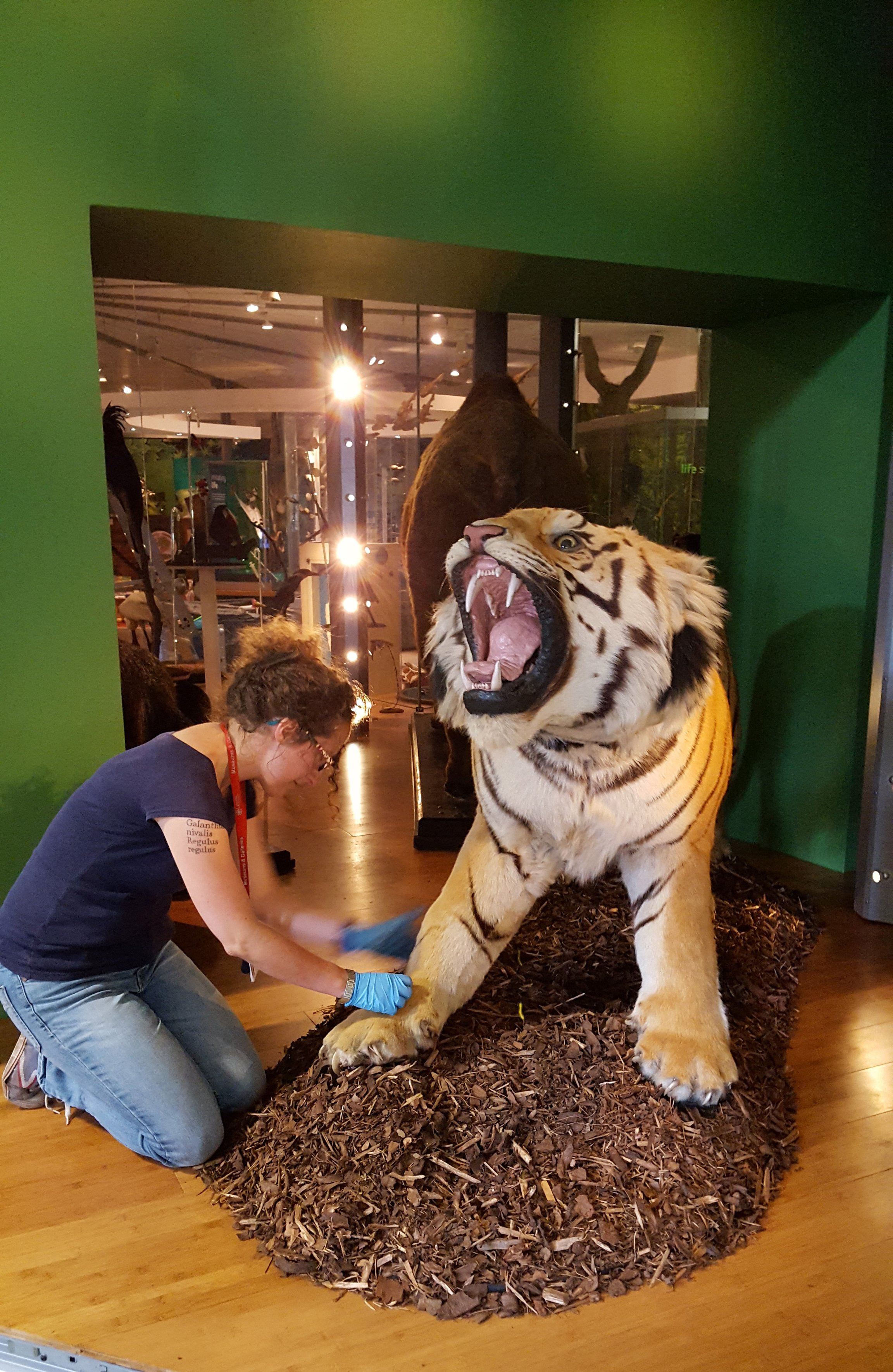 A curator is cleaning the leg of a taxidermy tiger specimen