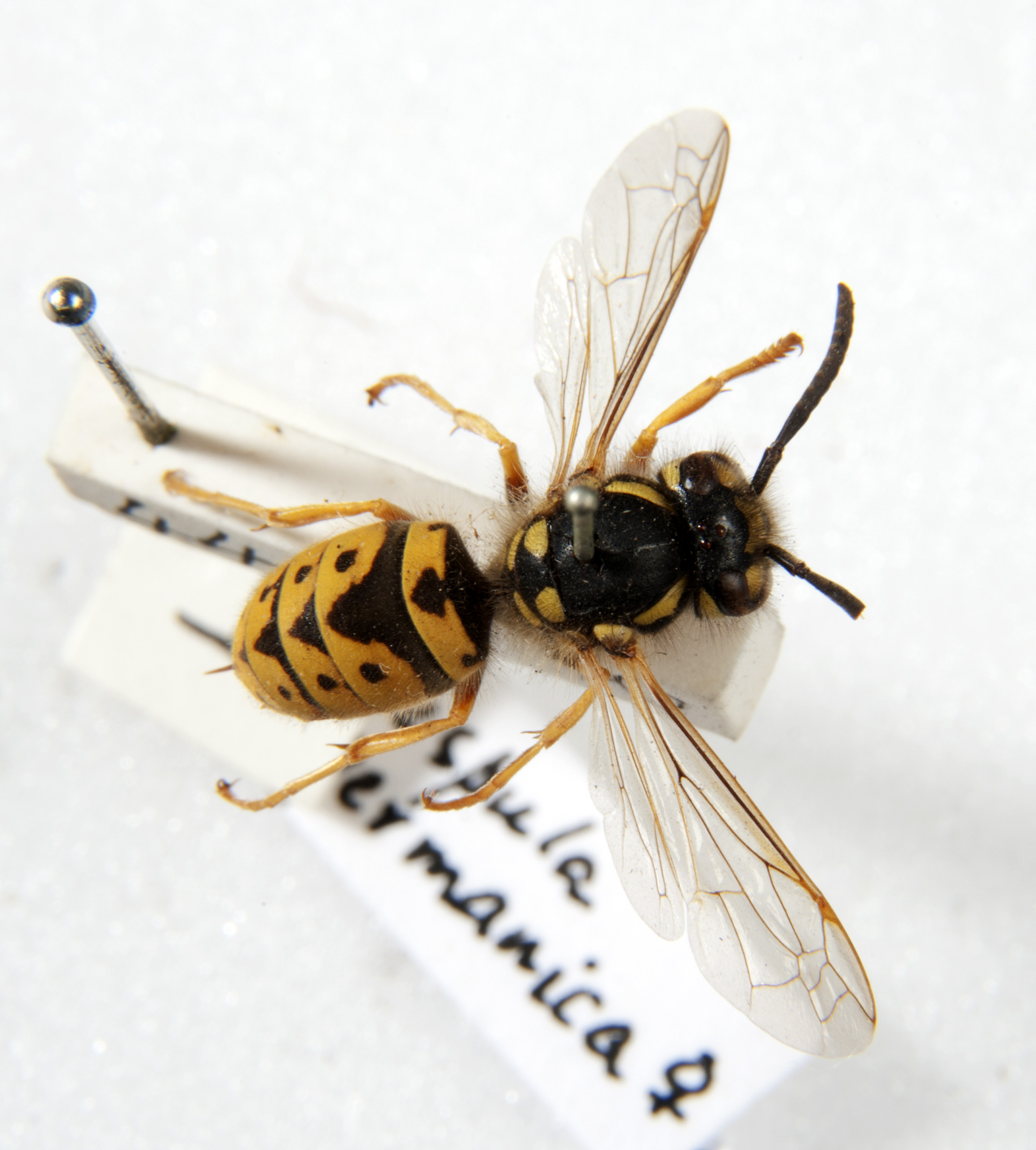 Colour photograph of a pinned wasp from museum collection