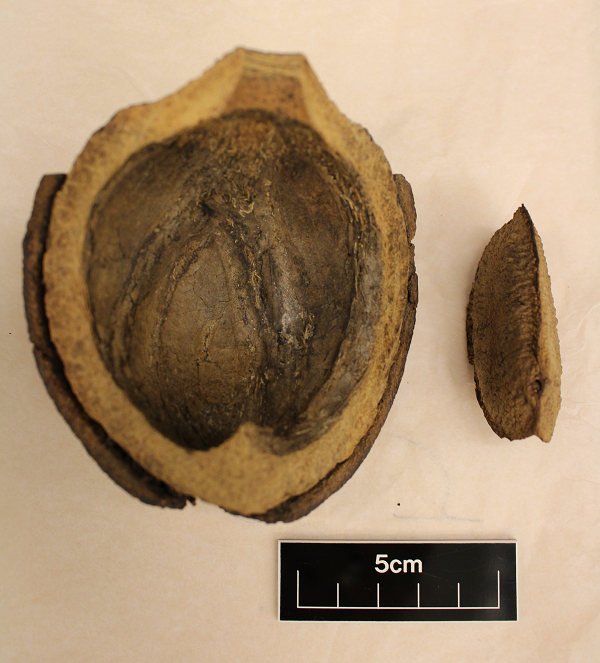 Colour photograph showing half a rounded pod with a brazil nut by the side