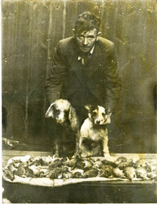 Black and white photograph of man with 2 Terriers leaning over a table full of rats