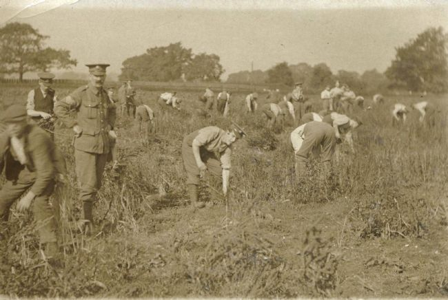 Black and white photo of WW1 soldiers picking beans on Fisher's Farm, Nottingham, 1917