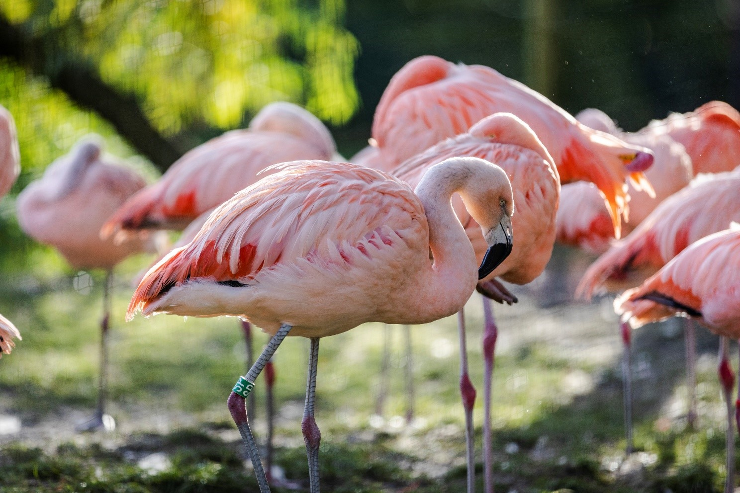 A group of pink coloured flamingos.