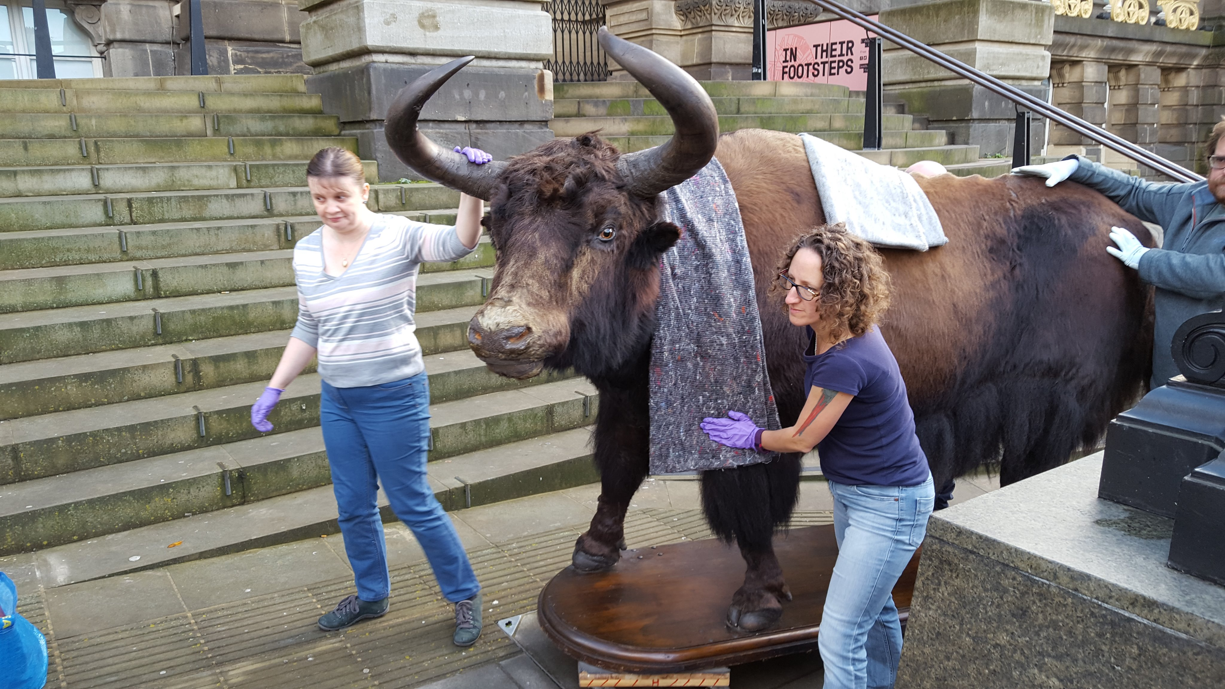 Three people moving a taxidermy yak on a pavement outside a museum