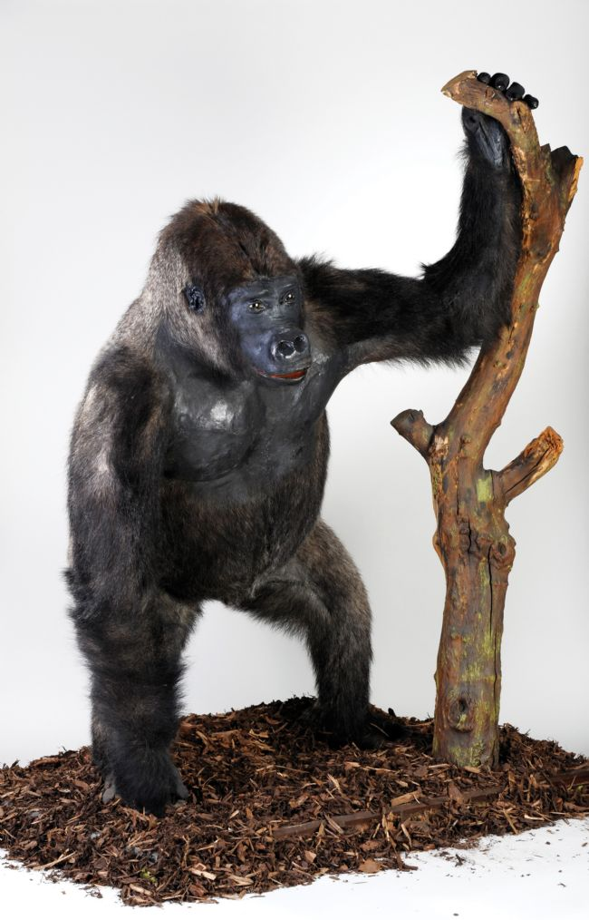 Mok the Gorilla taxidermied in a standing pose, holding onto a branch