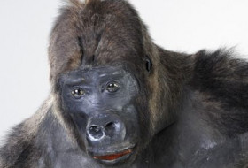 Head of Mok the Gorilla