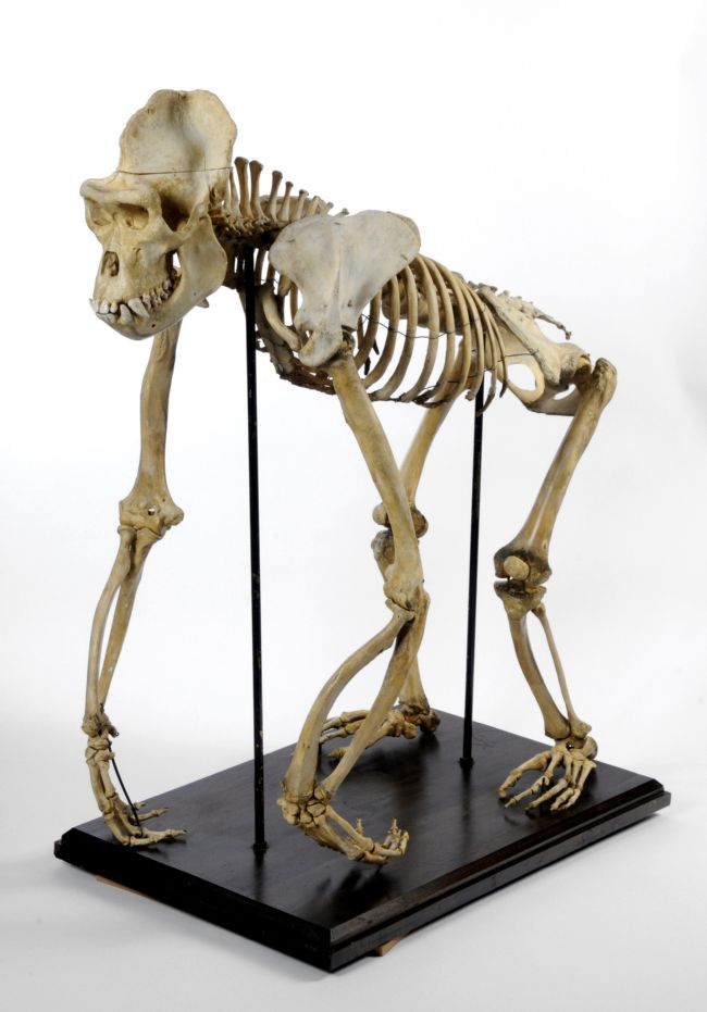 Mok's complete skeleton,  held in a pose on all four limbs.