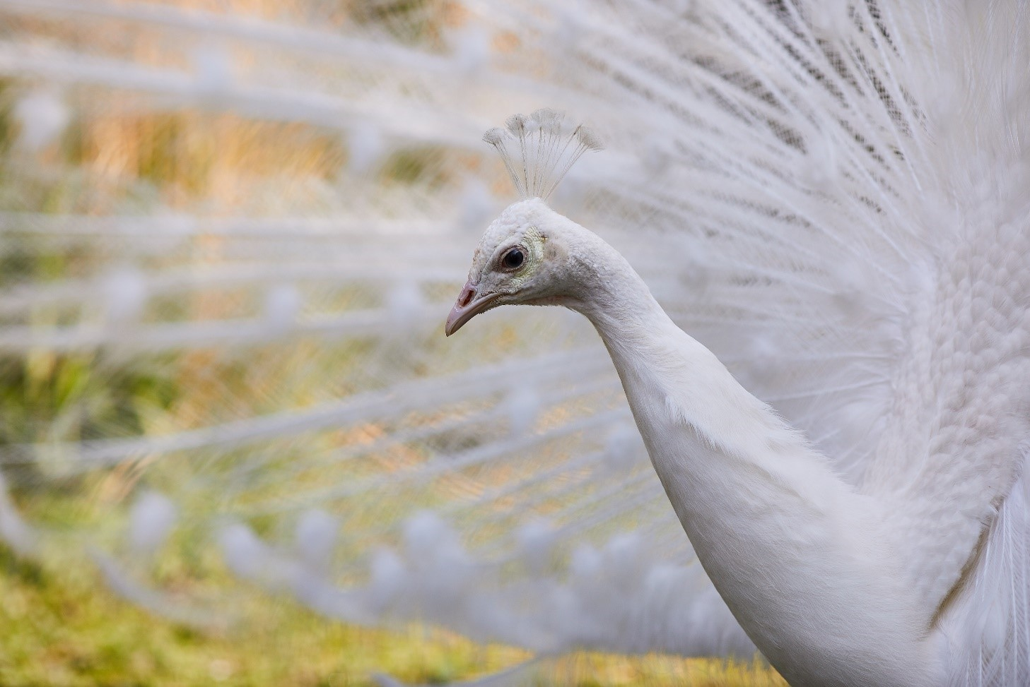 Close up showing the head and neck of a white peacock, with the spread of tail feathers in the background.