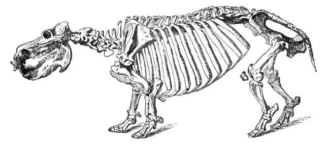 Black and white drawing of a complete hippo skeleton.