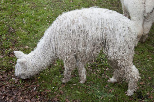 Photo of an alpaca eating grass