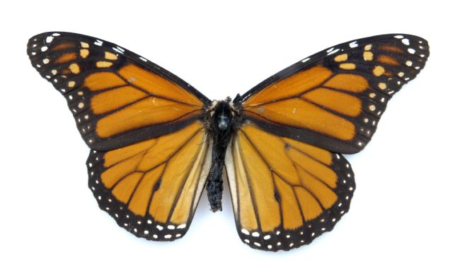 Bright orange coloured Monarch Butterfly with black edge with white spots around the edge.