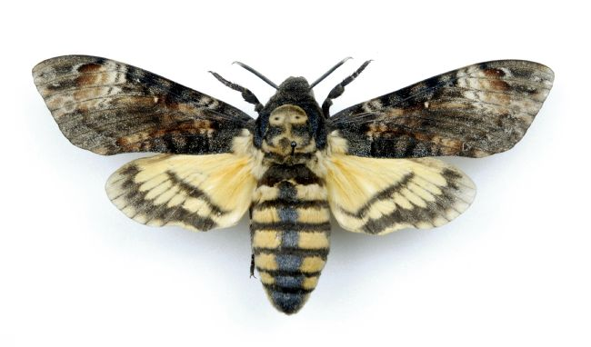 Photograph of death's-head hawk moths from the Yorkshire Museum entomology collections.