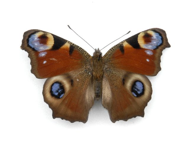 Bright orange Peacock butterfly with two patterned areas on each wing resembling eyes