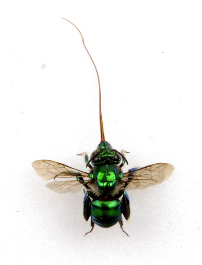 Bright  metallic green bee with long proboscus