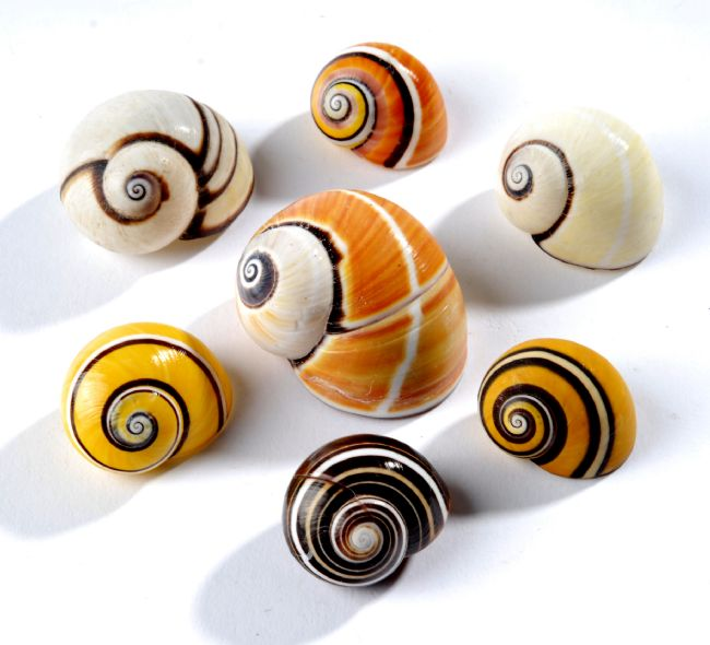 snail shells with swirling yellow, orange, white and brown patterns