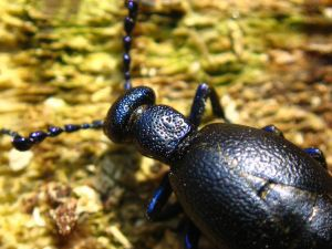 Photograph of an oil beetle head and thorax close up