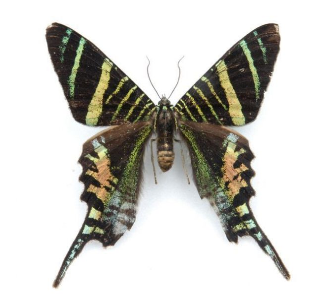 Large moth with banded wings in a zebra-like pattern of black, yellow , blue and pink tones.
