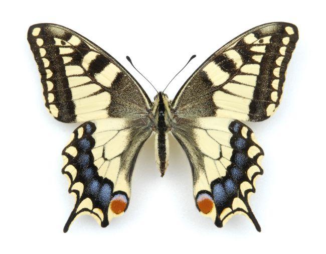 Swallow Tail Butterfly specimen