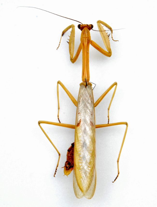 Golden coloured praying mantis with long body and six legs.