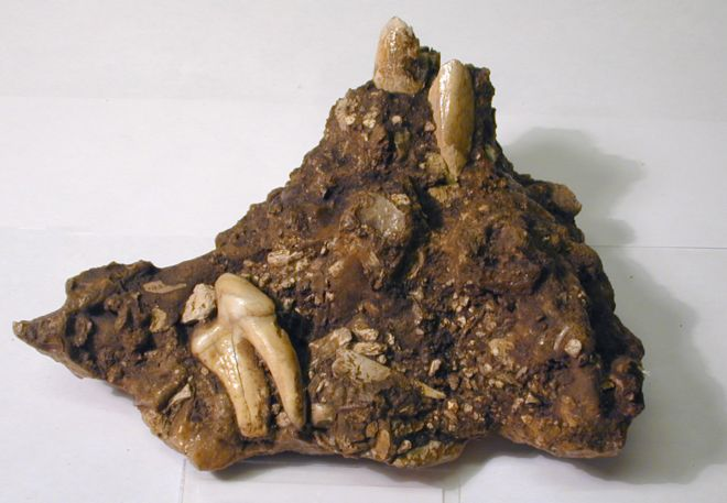 Bones embedded in cave earth