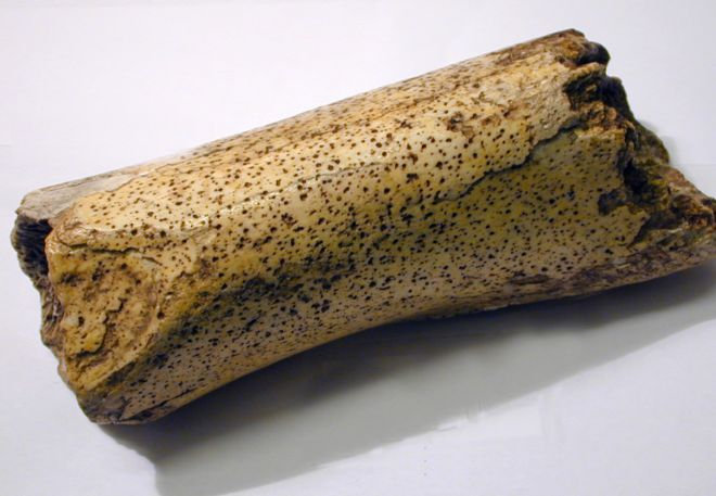 bone found in the Kirkdale Cave