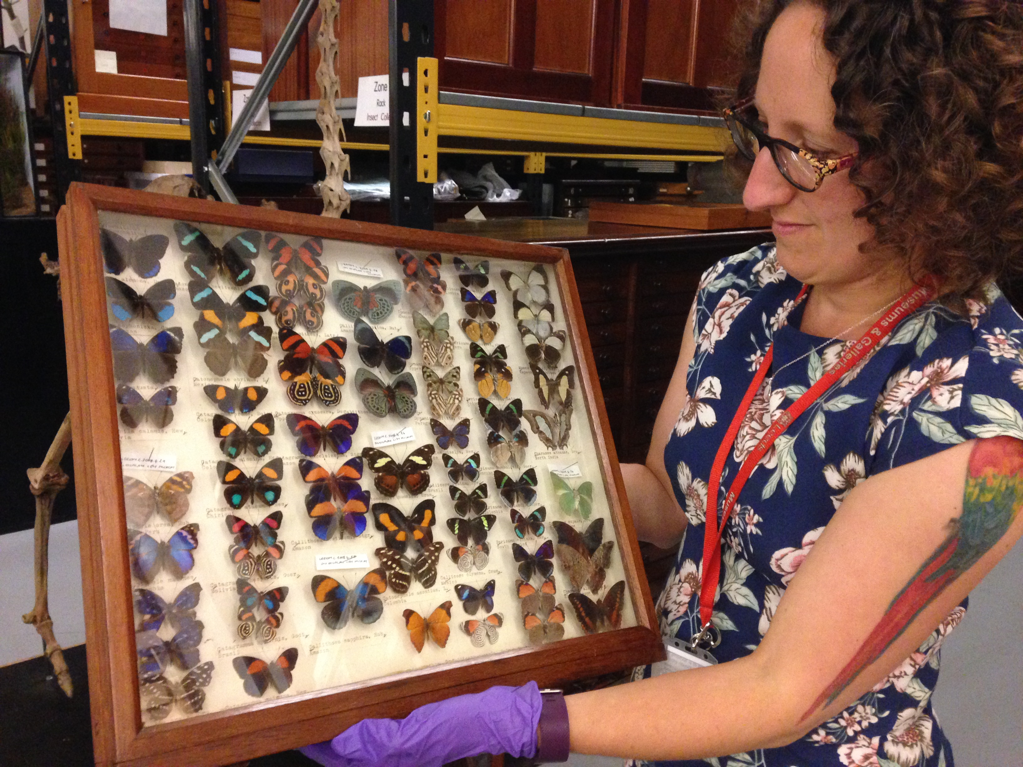A curator holds a frame full of different butterfly specimens