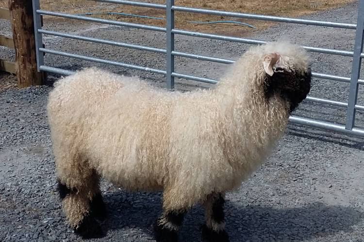 1 Pedigree Valais Blacknose Breeding Ram For Sale In