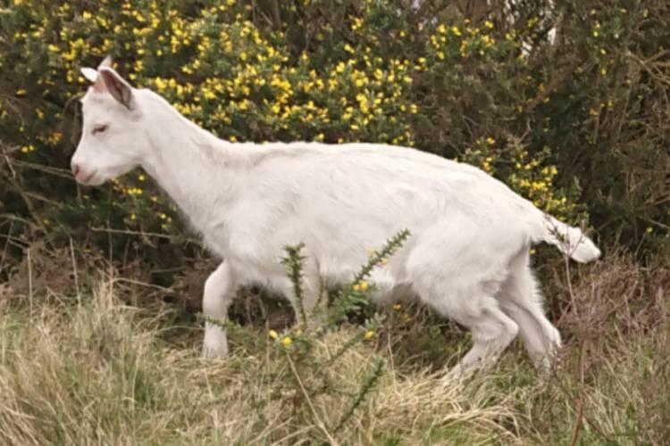 Pedigree British Saanen Breeding, Dairy Kids, Bucks for sale
